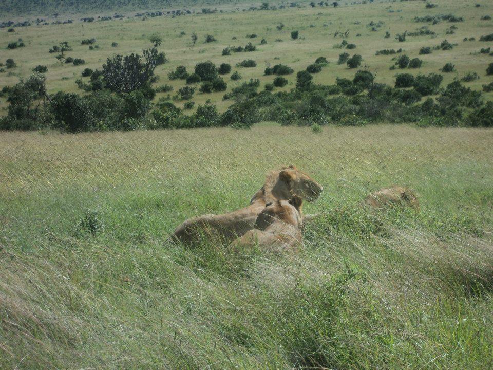 Lions sleeping in the plains of Maasai Mara