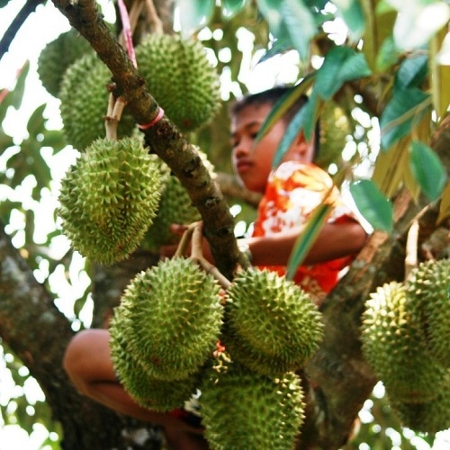 The tropical fruit season is one of the best times of year to visit Chanthaburi, with durian the sta