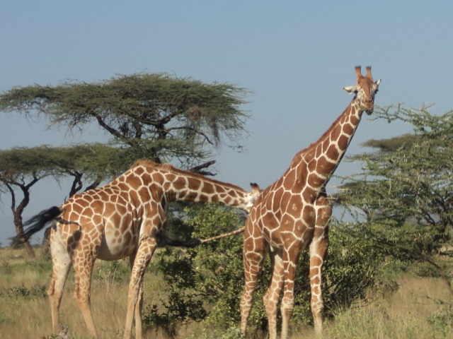 giraffe in Lake Nakuru