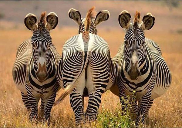 zebras of game viewing drive