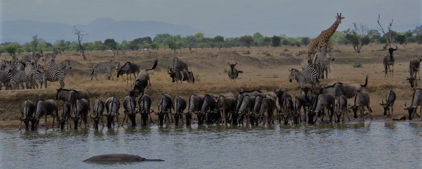 Different wild animals gathering at the watering hole in Mikumi National Park Tanzania